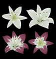 Lily flowers isolated on black background vector