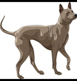 Color sketch thai ridgeback dog breed runs vector