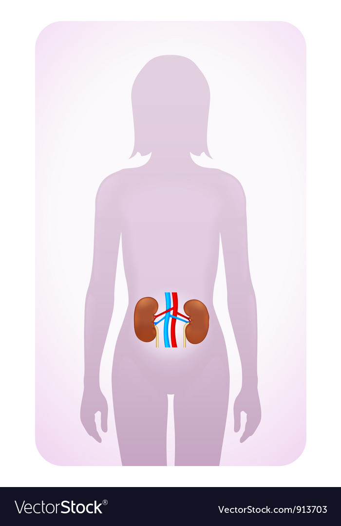 Kidneys highlighted vector | Price: 1 Credit (USD $1)