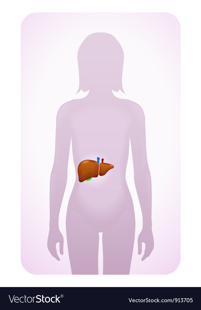 Liver highlighted vector | Price: 1 Credit (USD $1)
