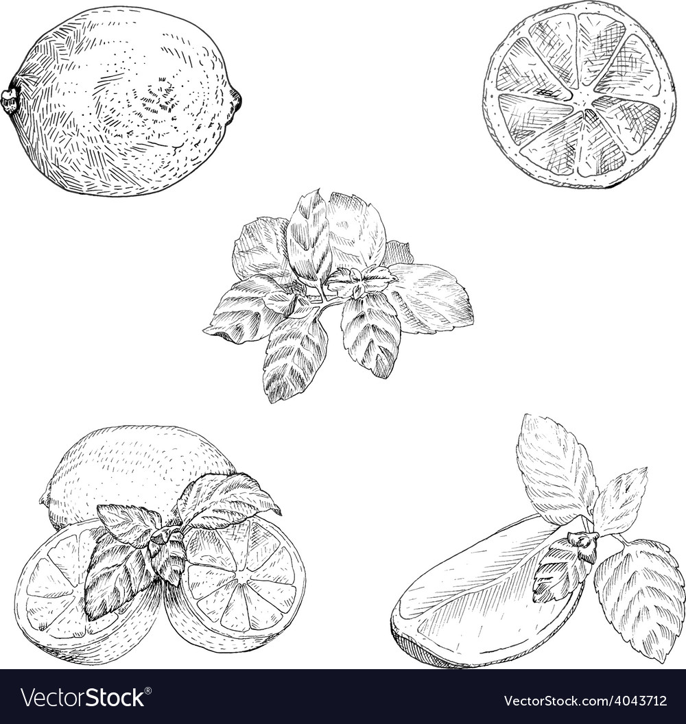 Lime and mint ink sketch set vector | Price: 1 Credit (USD $1)