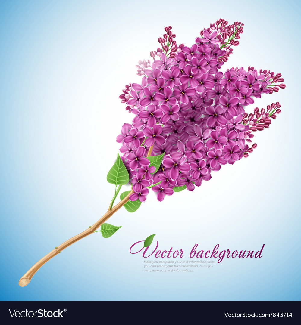 Blooming lilacs vector | Price: 3 Credit (USD $3)