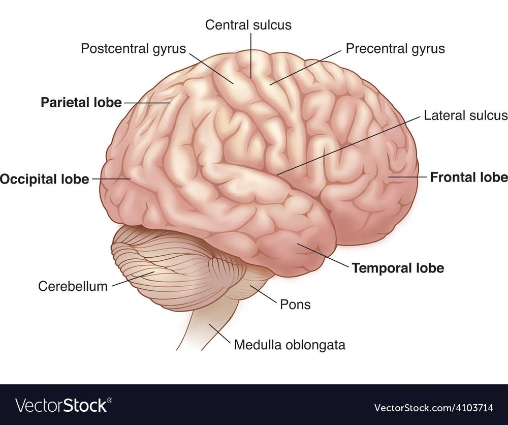Diagram of brain vector