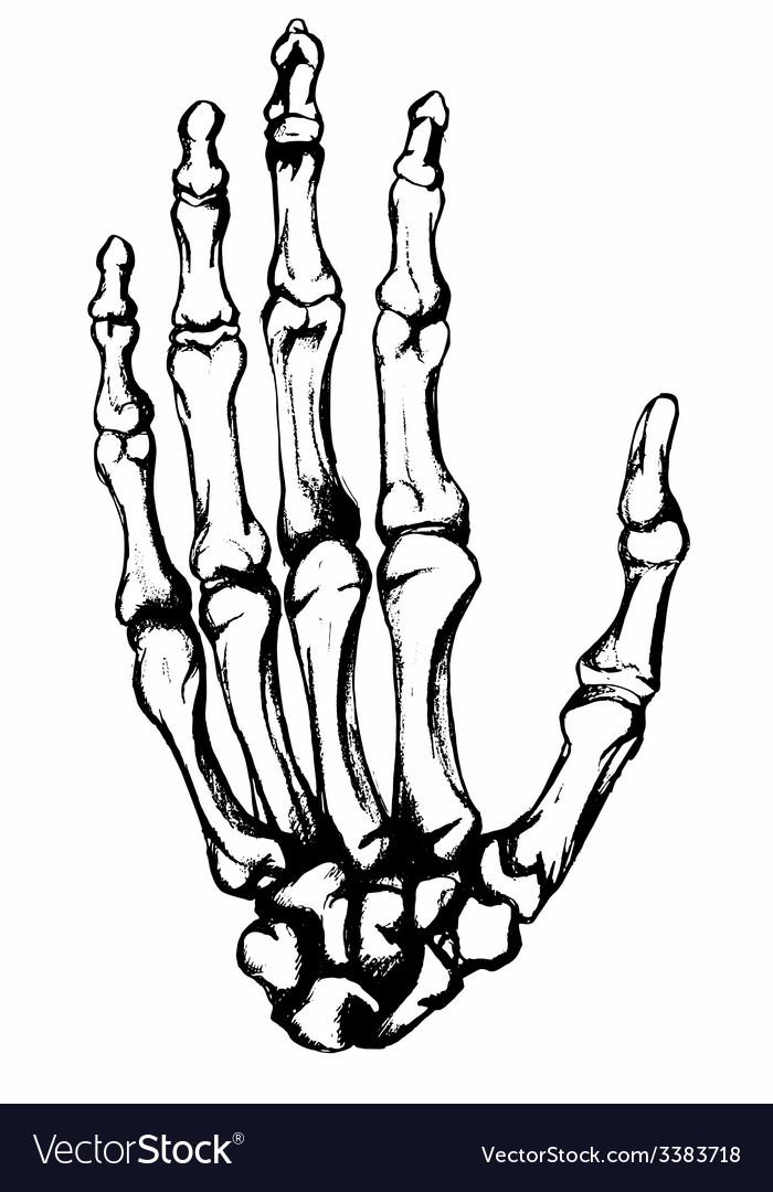 Hand drawn hand bones vector | Price: 1 Credit (USD $1)