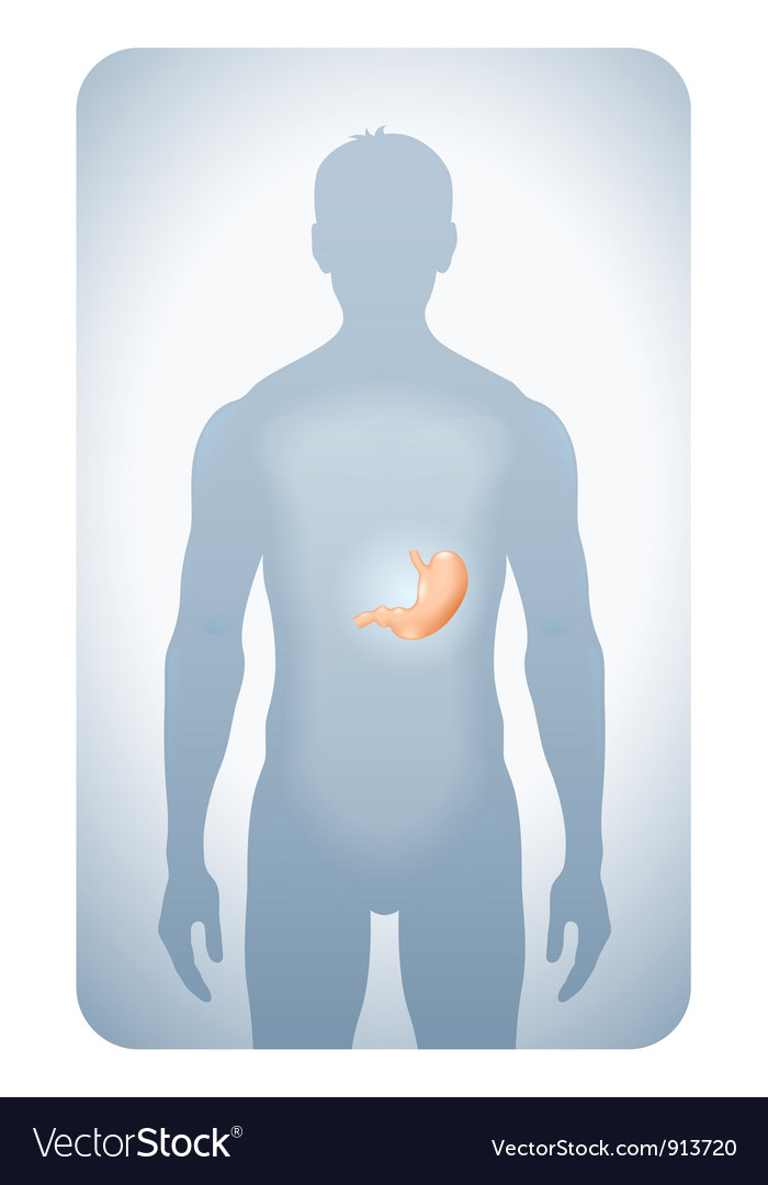 Stomach highlighted vector | Price: 1 Credit (USD $1)