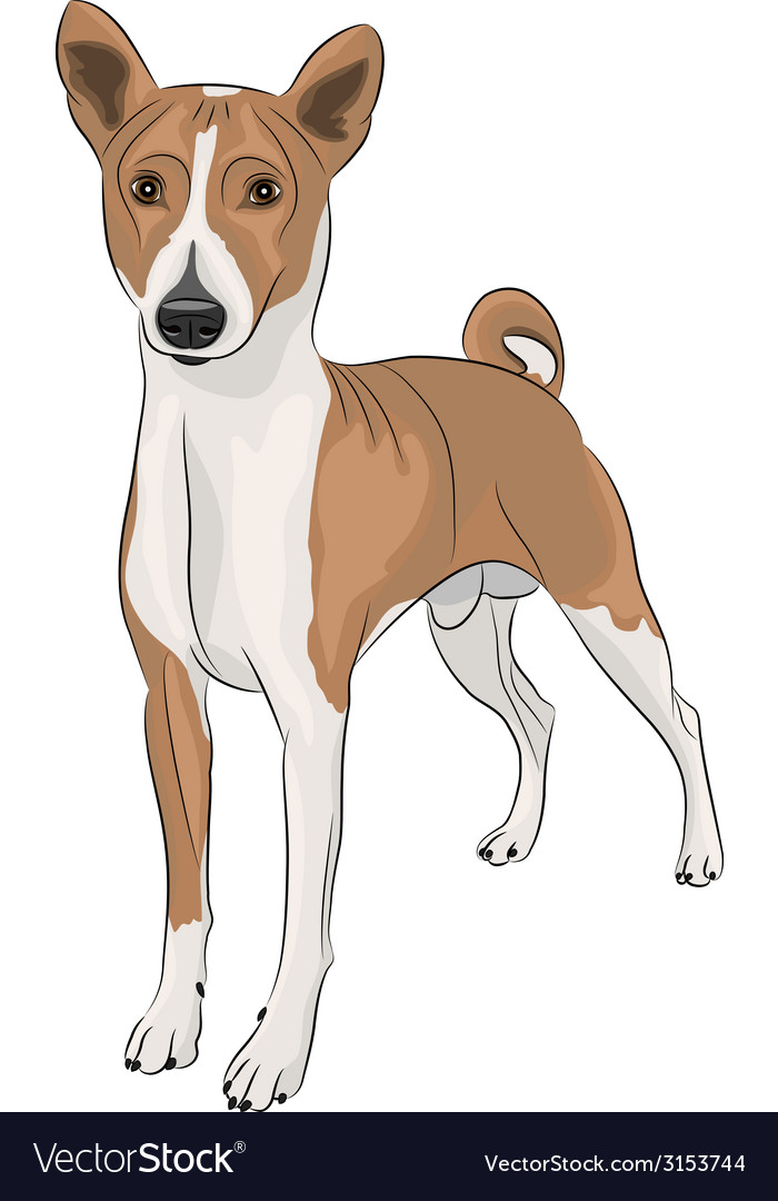 Basenji vector | Price: 1 Credit (USD $1)