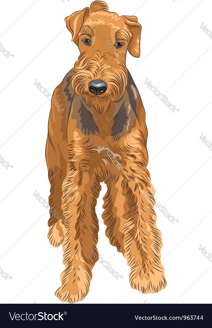 Sketch dog airedale terrier breed vector | Price: 3 Credit (USD $3)