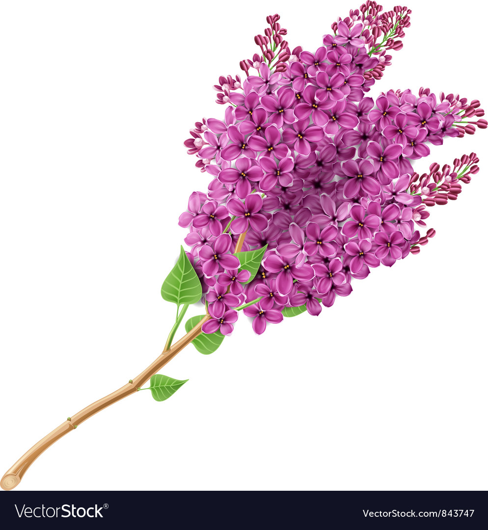 Blooming lilacs vector | Price: 1 Credit (USD $1)