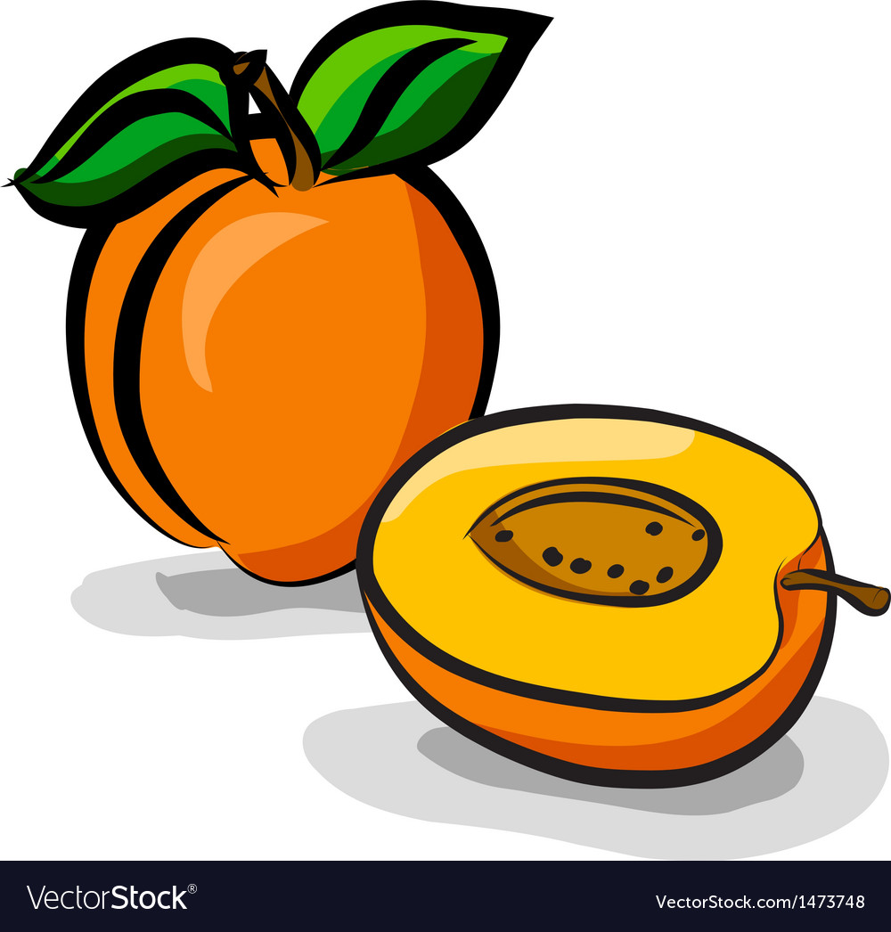 Apricot fruits sketch drawing vector | Price: 1 Credit (USD $1)