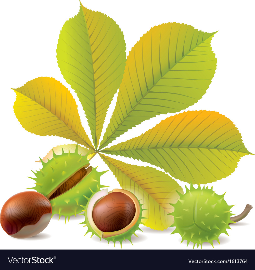 Autumn chestnuts vector | Price: 1 Credit (USD $1)