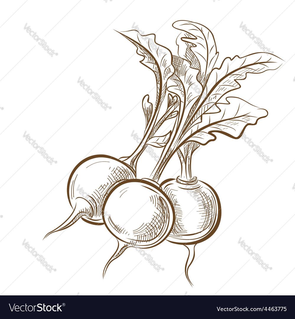Picture of radish vector   Price: 1 Credit (USD $1)