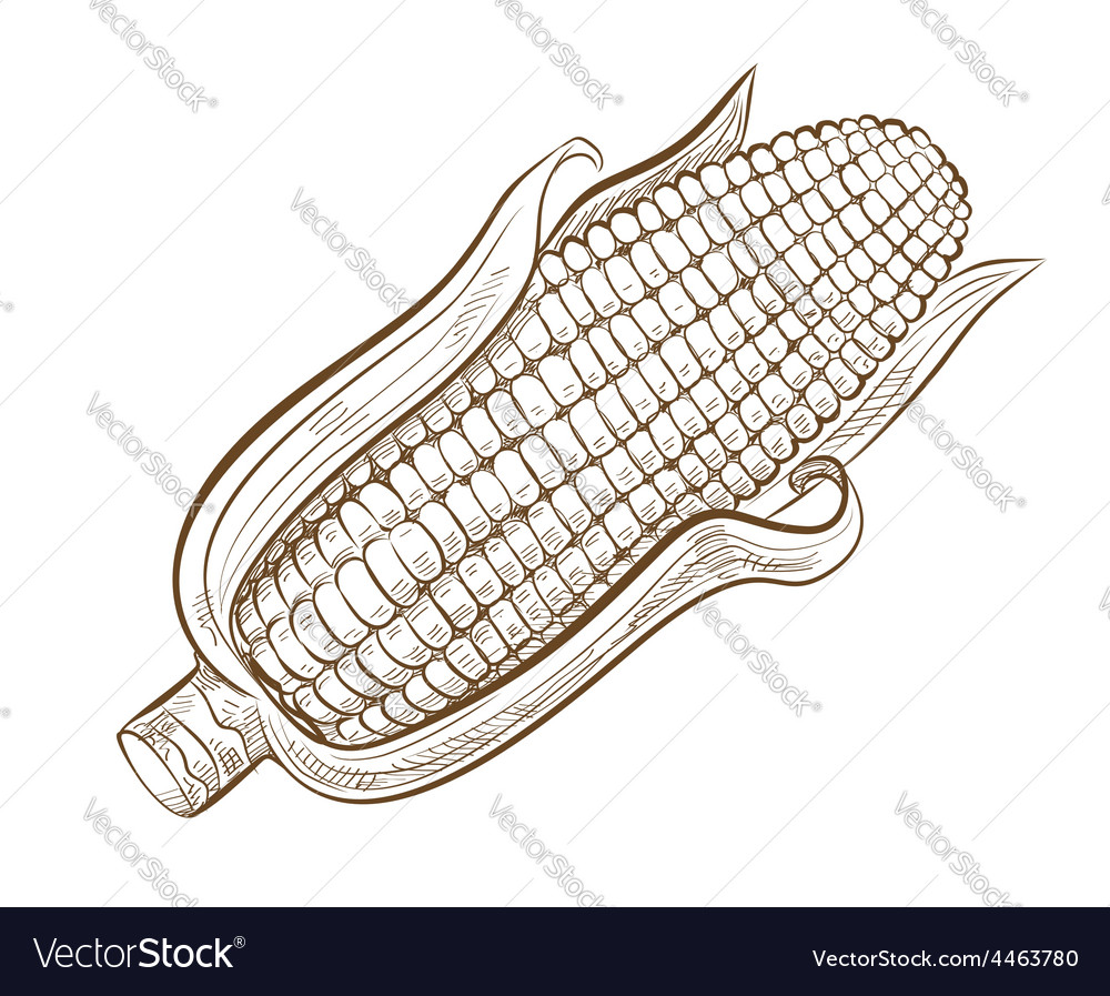 Picture of sweetcorn vector   Price: 1 Credit (USD $1)
