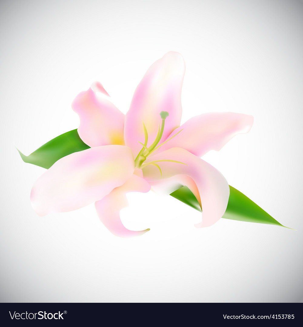 Realistic pink lily vector | Price: 1 Credit (USD $1)