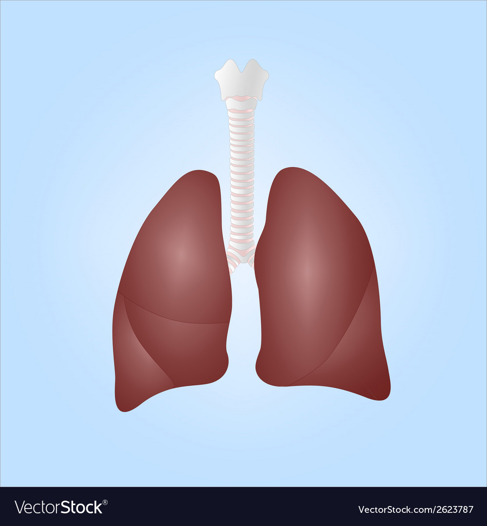 Human lungs and trachea vector | Price: 1 Credit (USD $1)