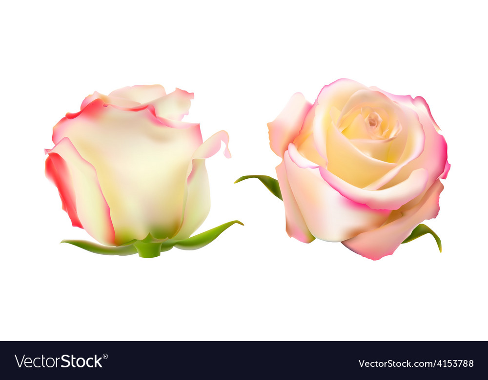 Realistic rose high quality vector | Price: 1 Credit (USD $1)