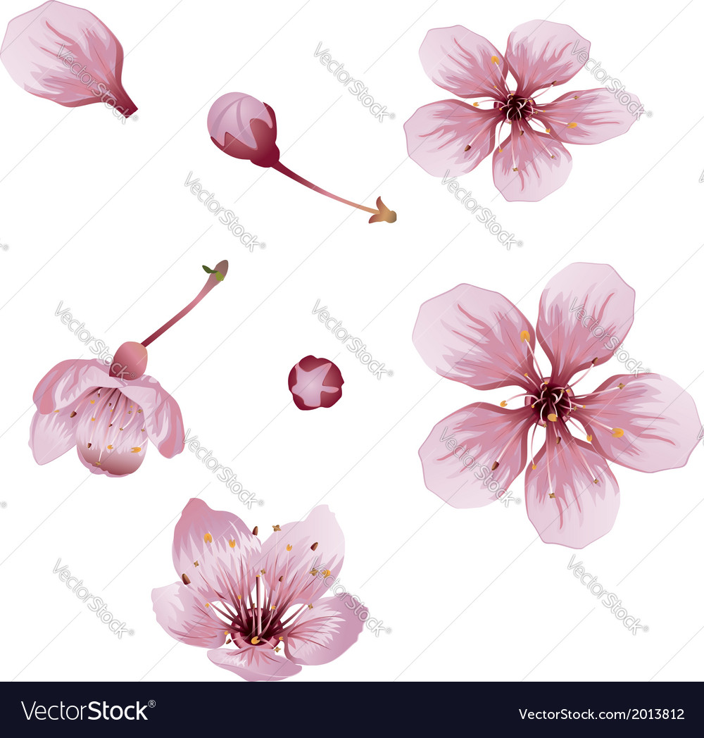 Cherry blossom flowers vector | Price: 1 Credit (USD $1)