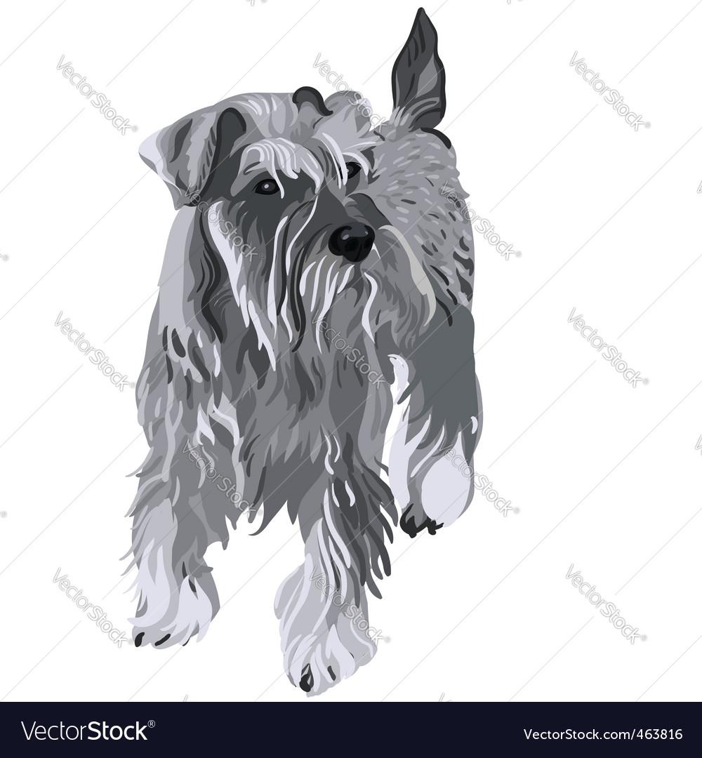 Miniature schnauzer dog vector   Price: 3 Credit (USD $3)