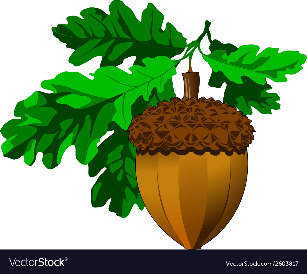 Acorn vector | Price: 1 Credit (USD $1)