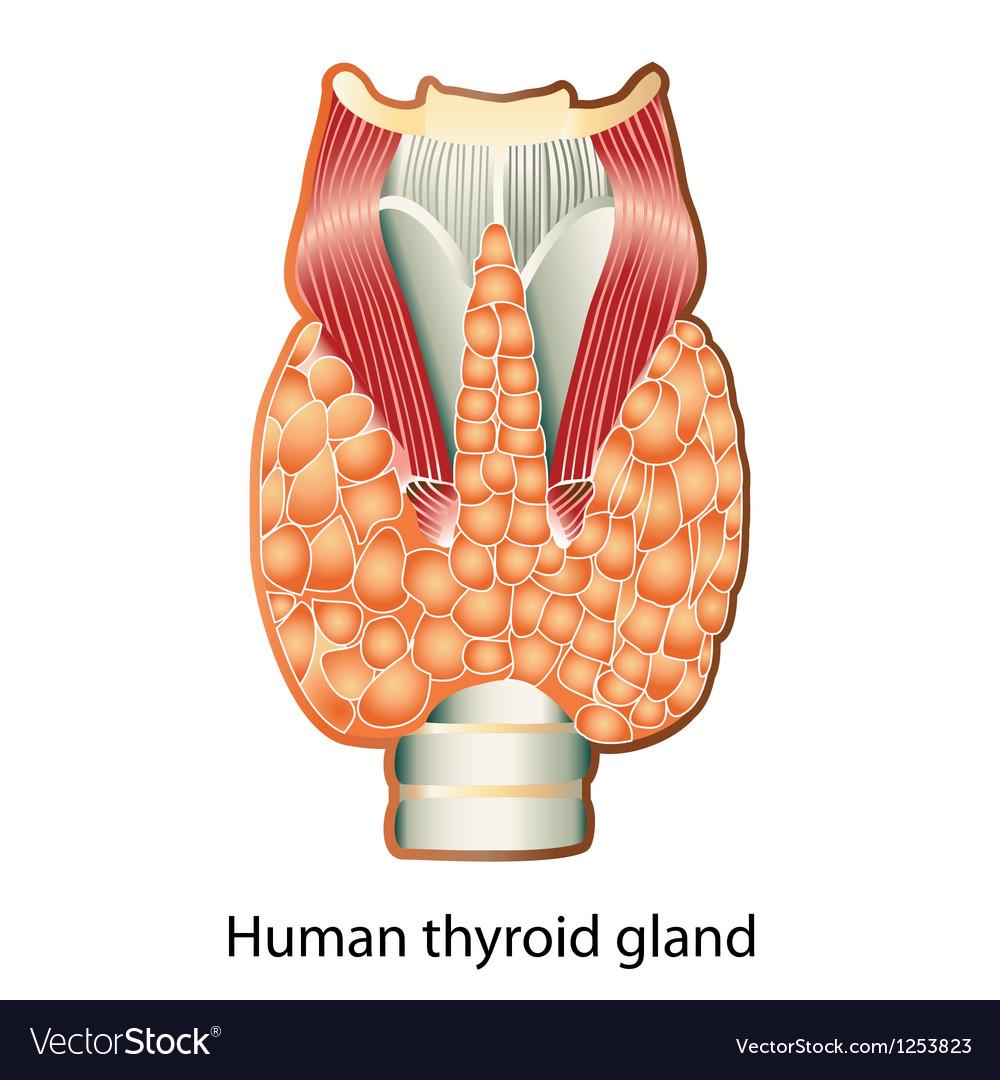 Human thyroid gland vector | Price: 1 Credit (USD $1)