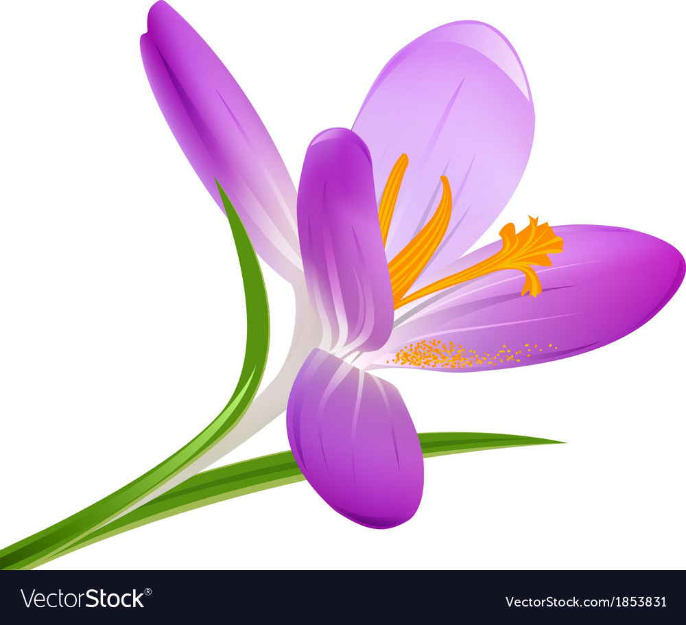 Blooming crocus on a white background vector | Price: 1 Credit (USD $1)