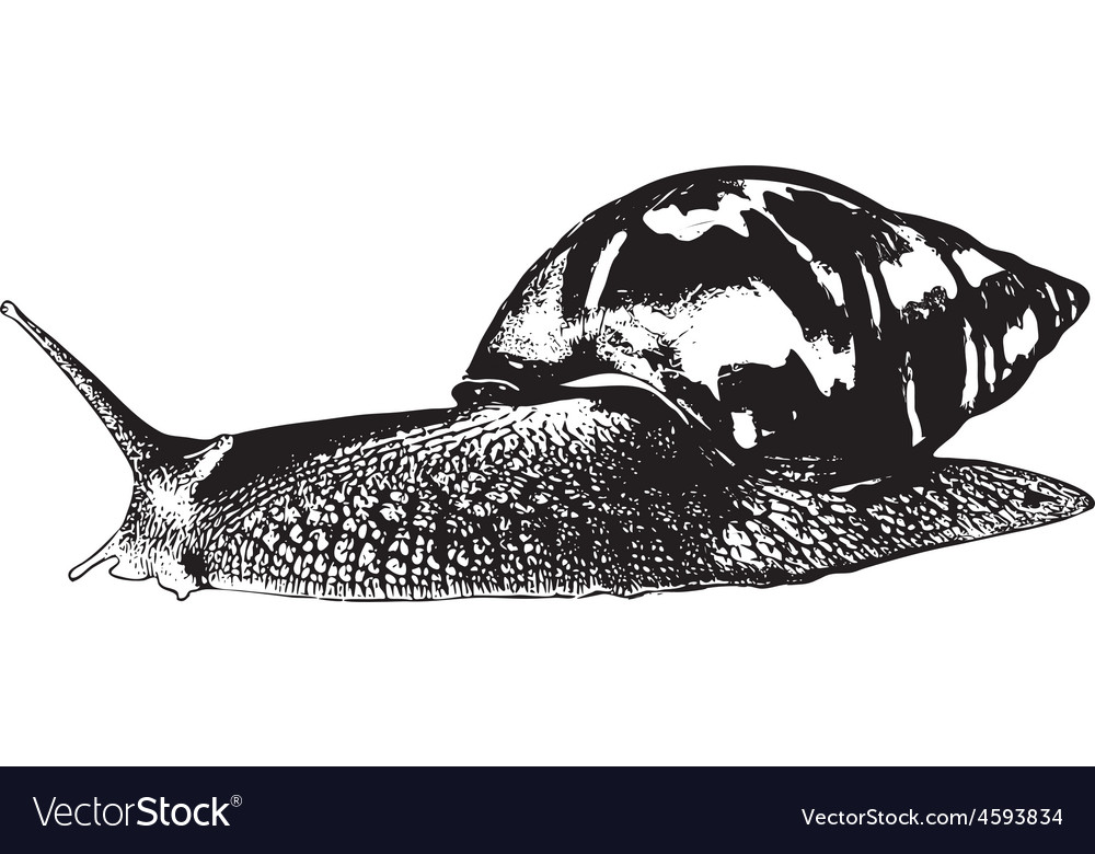 Snail achatina vector | Price: 1 Credit (USD $1)