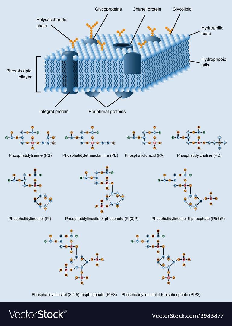 Membrane structure vector | Price: 1 Credit (USD $1)