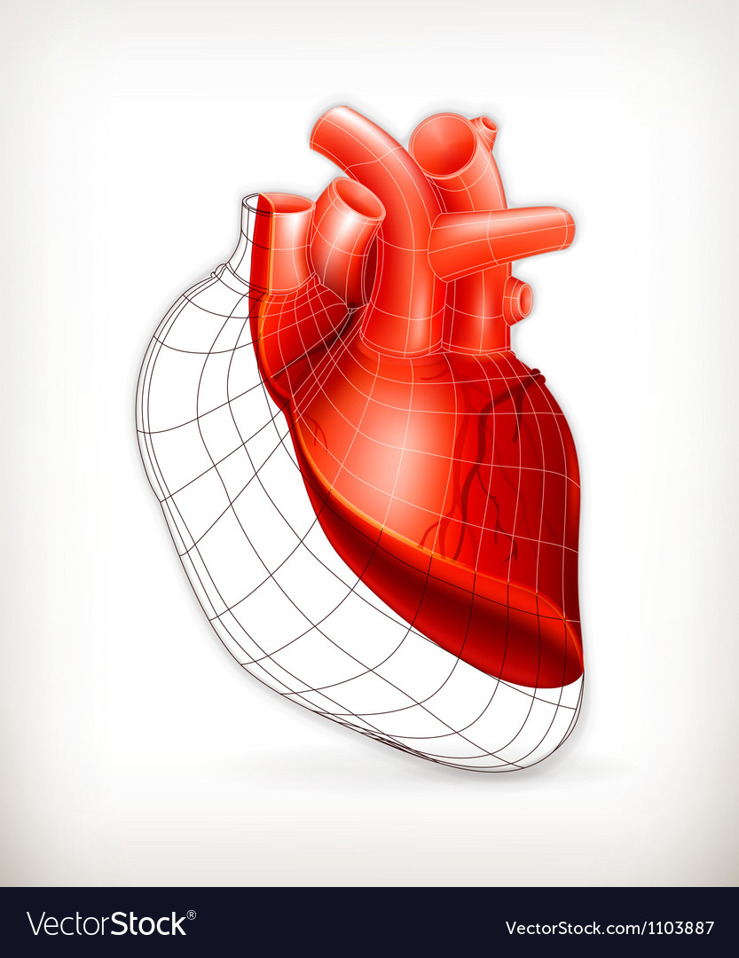Heart structure vector | Price: 1 Credit (USD $1)
