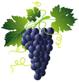 Grape cartoons vector