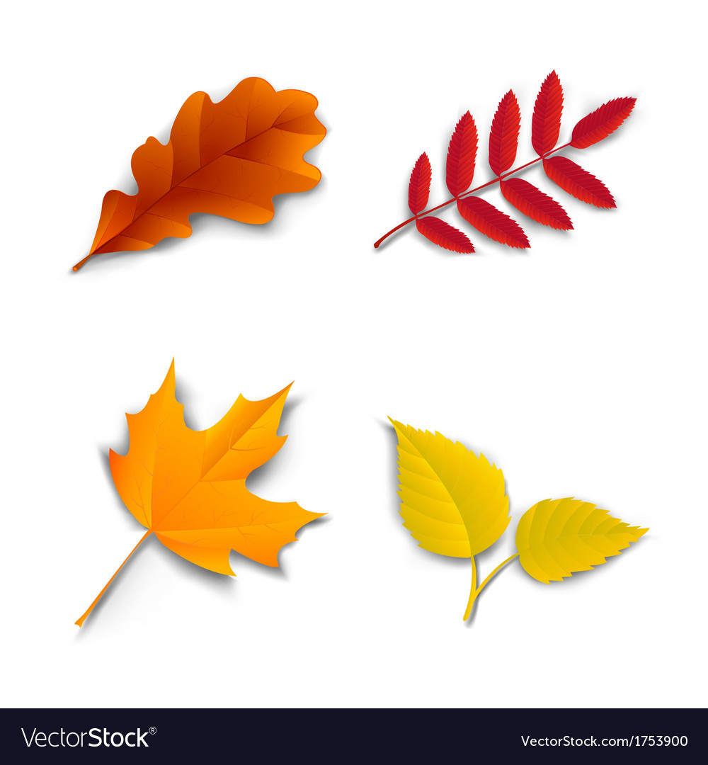 Autumn oak maple ash birch leaves vector | Price: 1 Credit (USD $1)