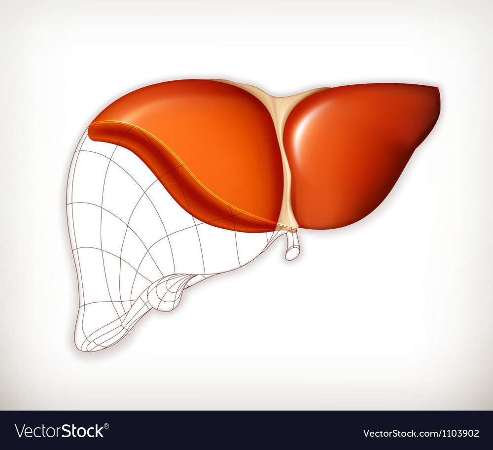 Liver structure vector | Price: 1 Credit (USD $1)