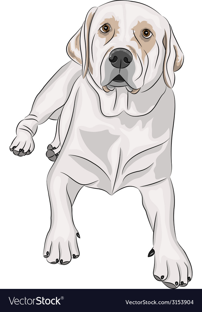 Labrador b vector | Price: 1 Credit (USD $1)