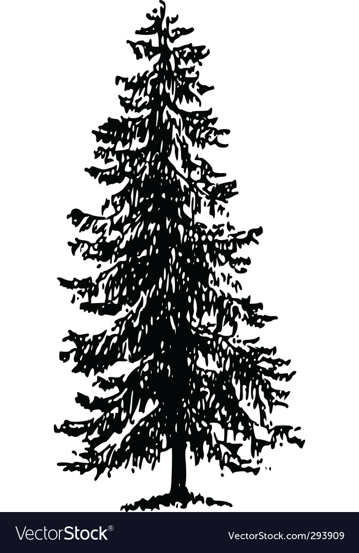 Norway spruce vector | Price: 1 Credit (USD $1)