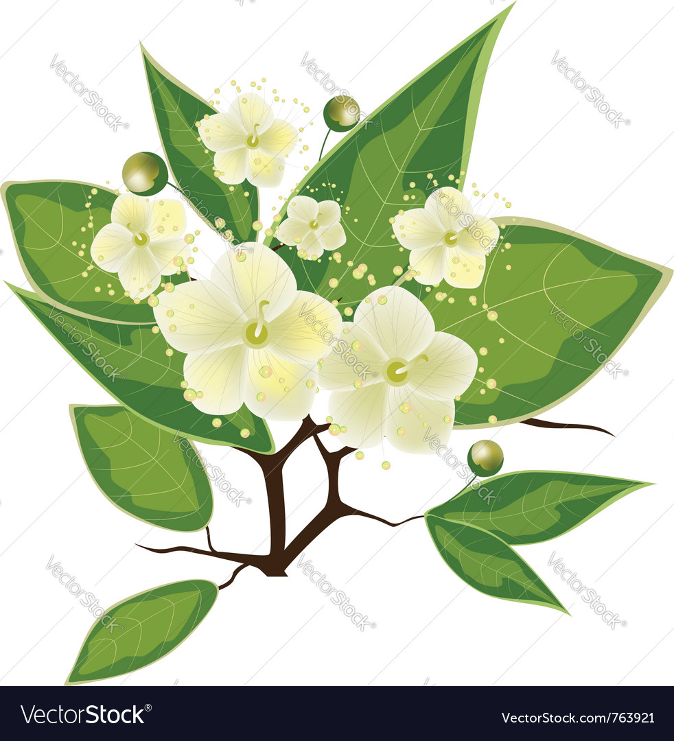 Blooming myrtle branch vector | Price: 1 Credit (USD $1)