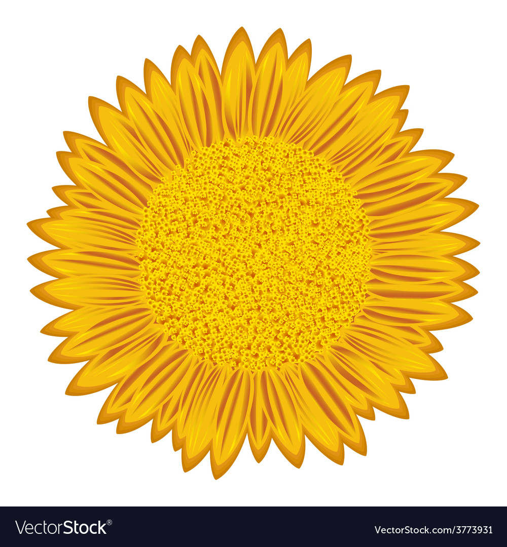 Sunflower over white vector | Price: 1 Credit (USD $1)