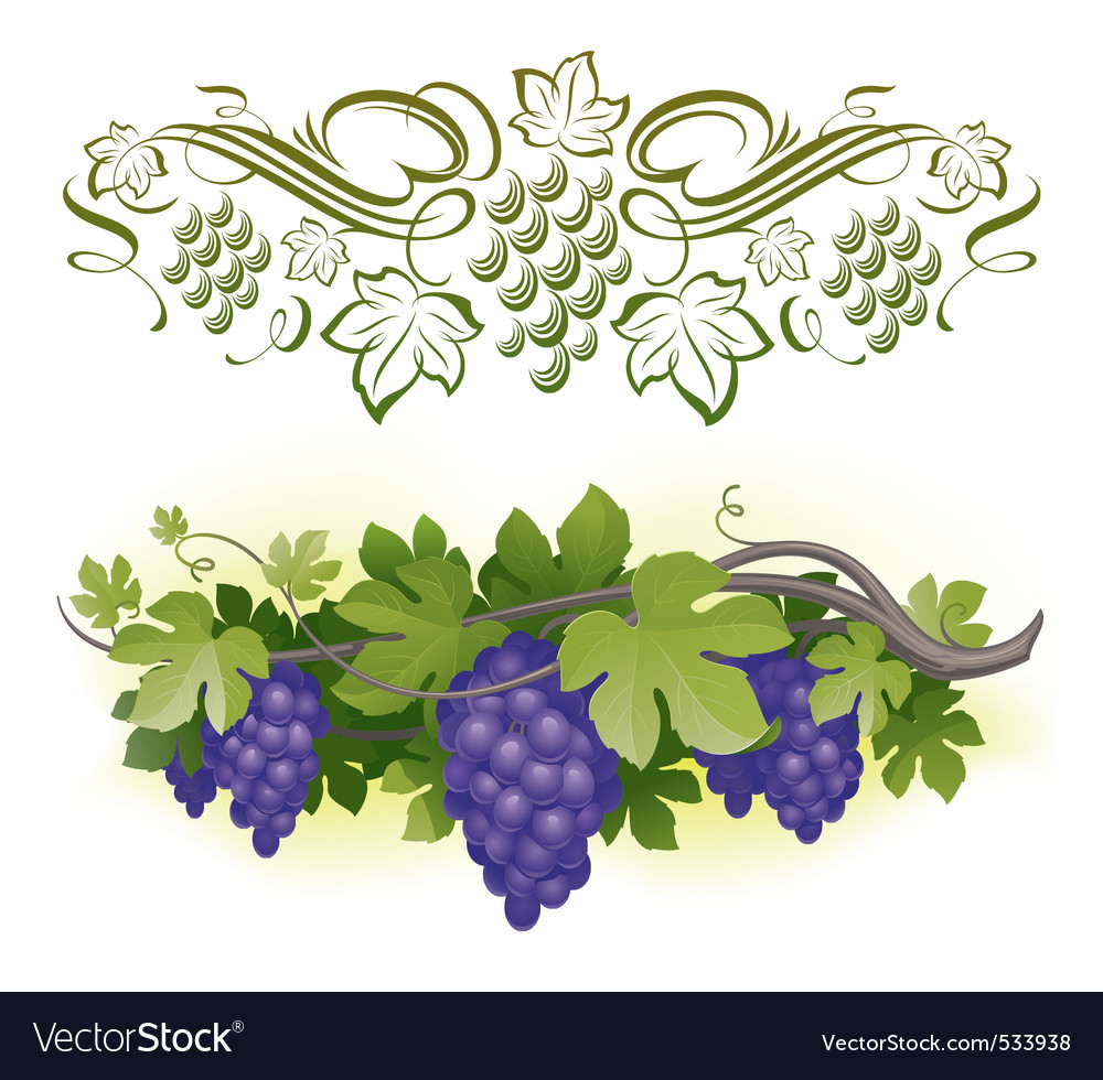 Ripe grapes on the vine vector | Price: 3 Credit (USD $3)