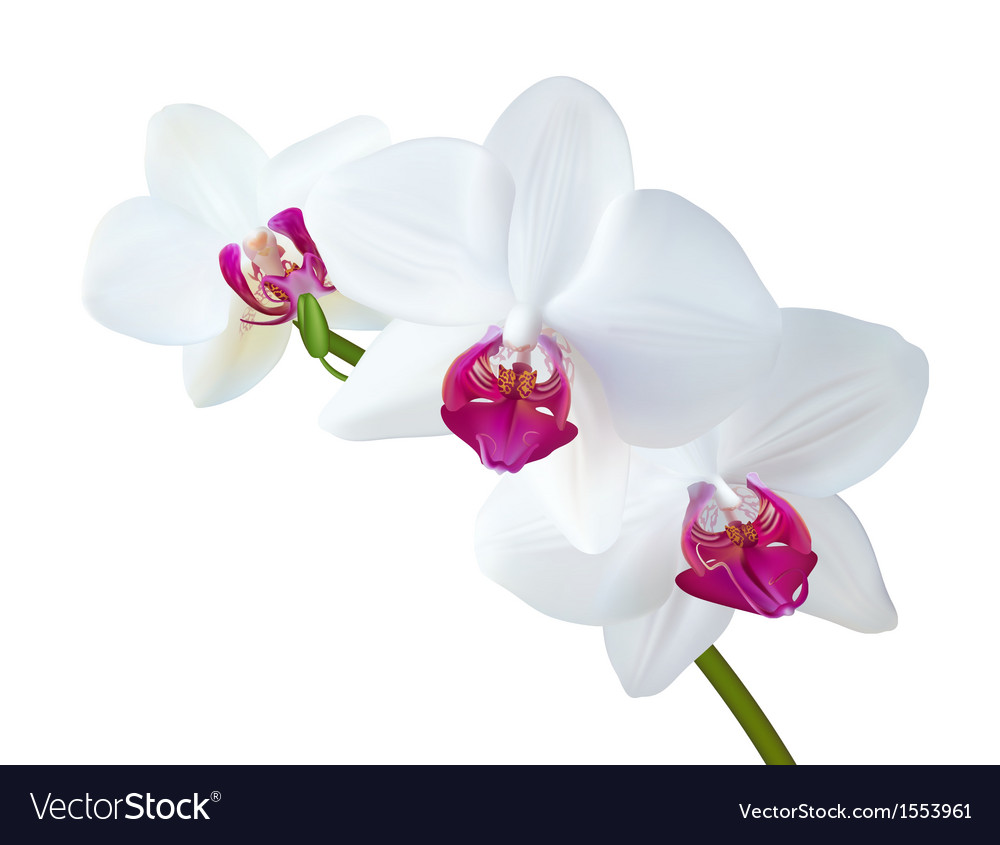 White orchid vector | Price: 3 Credit (USD $3)