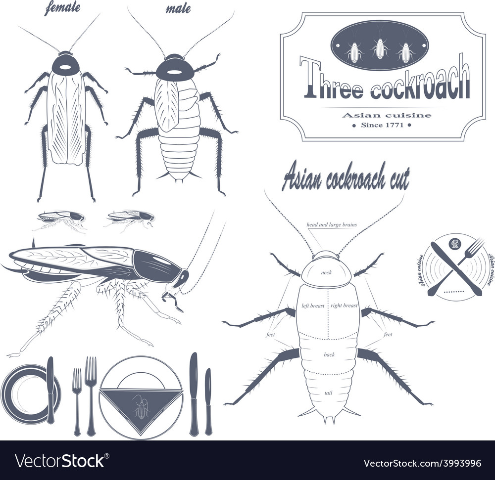 Asian cockroach vector | Price: 1 Credit (USD $1)