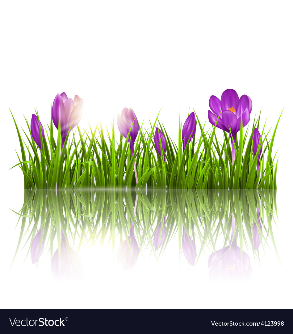 Green grass lawn violet crocuses and sunrise with vector | Price: 1 Credit (USD $1)