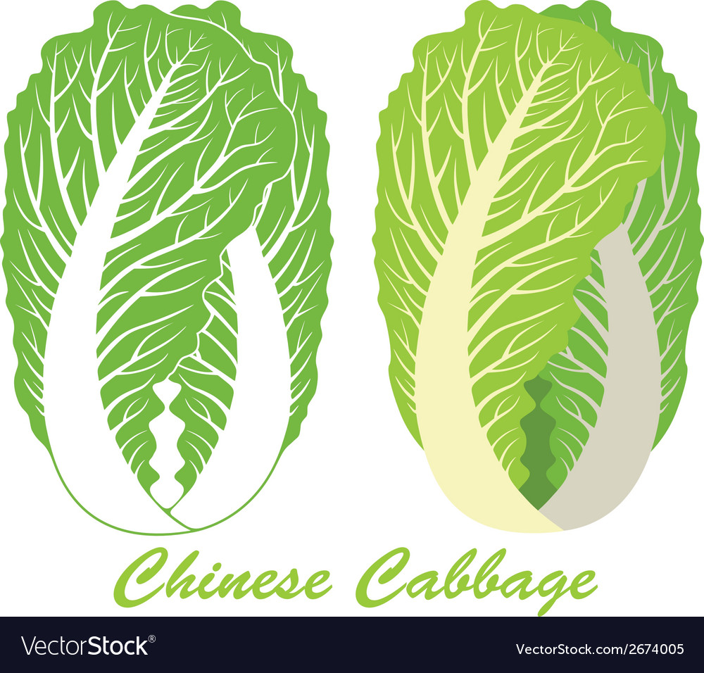 Chinese cabbage vector | Price: 1 Credit (USD $1)