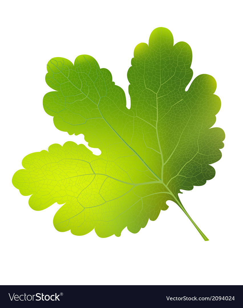 Currant leaf eps10 vector   Price: 1 Credit (USD $1)