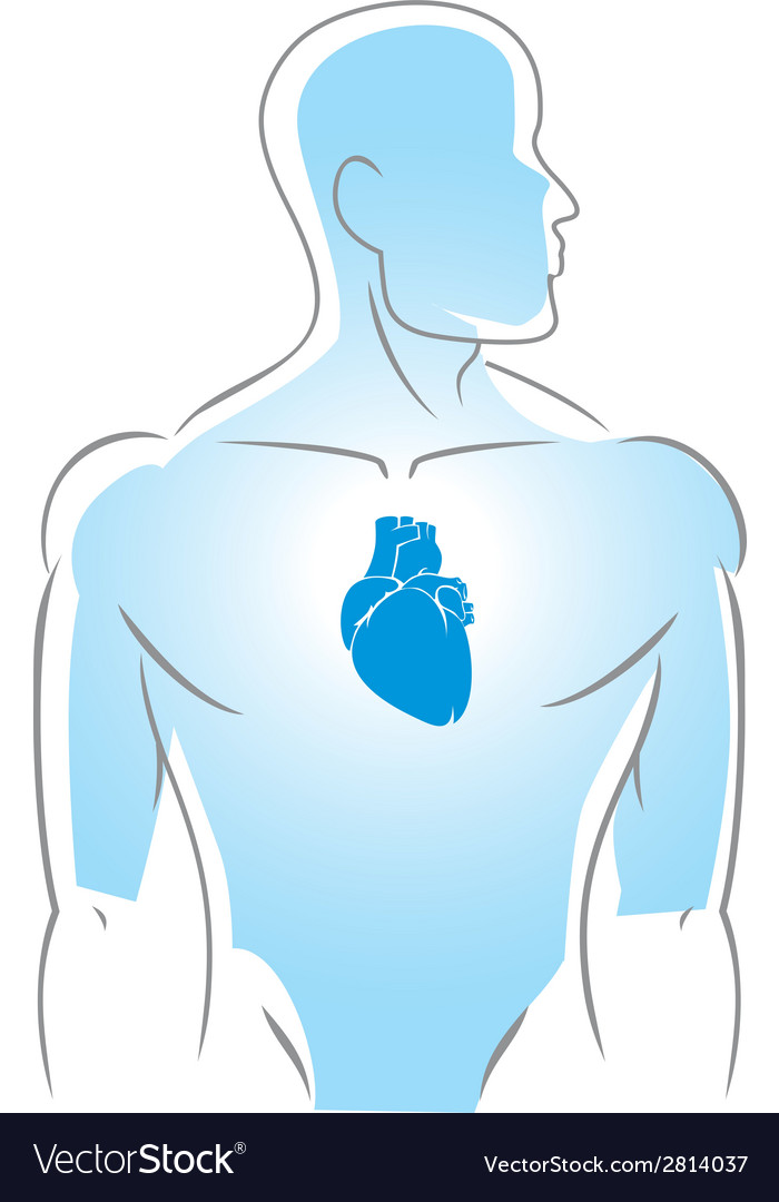 Internal organs heart vector | Price: 1 Credit (USD $1)