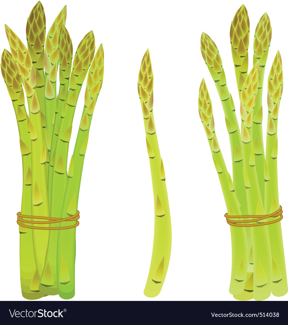 Asparagus spears tied in a bunch vector | Price: 1 Credit (USD $1)