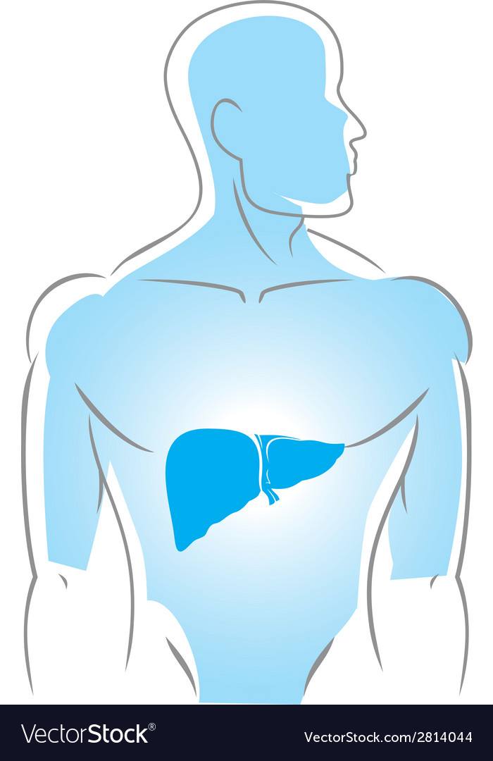 Internal organs liver vector | Price: 1 Credit (USD $1)