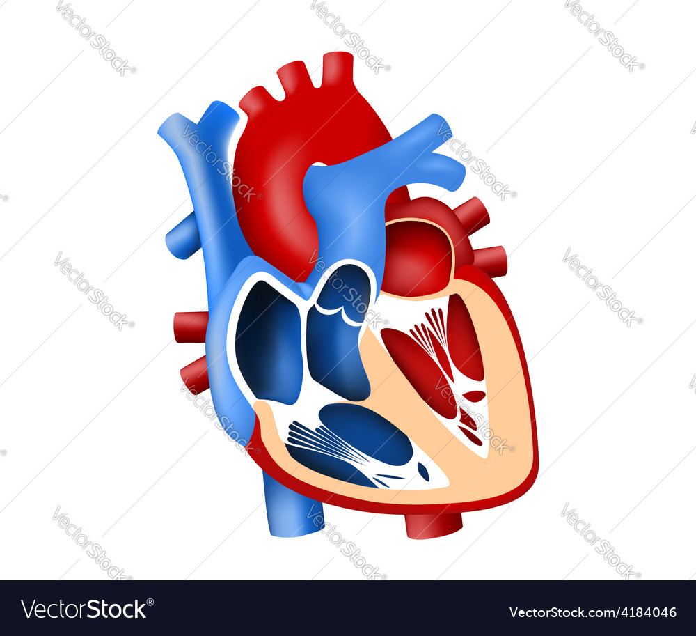 Function and definition human heart tridimensional vector | Price: 1 Credit (USD $1)