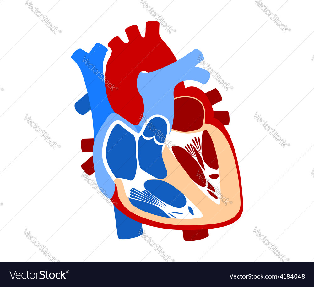 Function and definition human heart vector | Price: 1 Credit (USD $1)