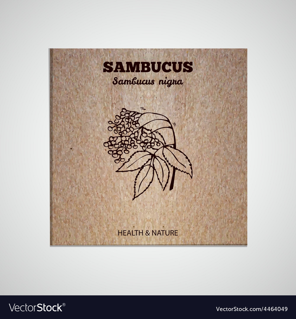 Herbs and spices collection - sambucus vector | Price: 1 Credit (USD $1)
