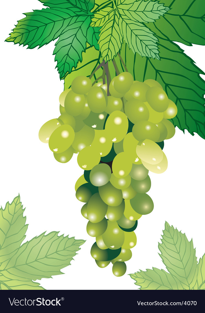 Vineyard illustration vector | Price: 3 Credit (USD $3)