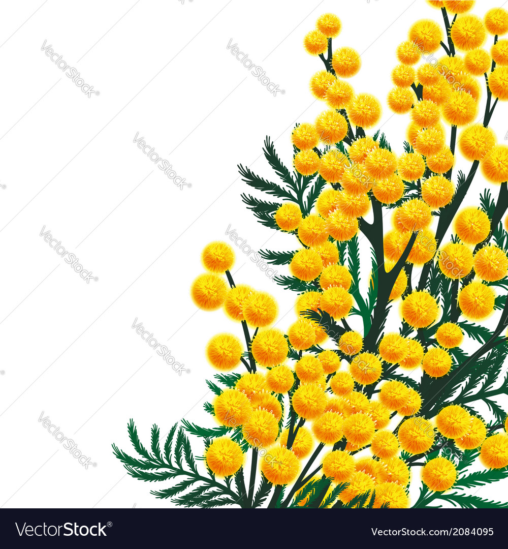 Mimosa flowers vector | Price: 1 Credit (USD $1)