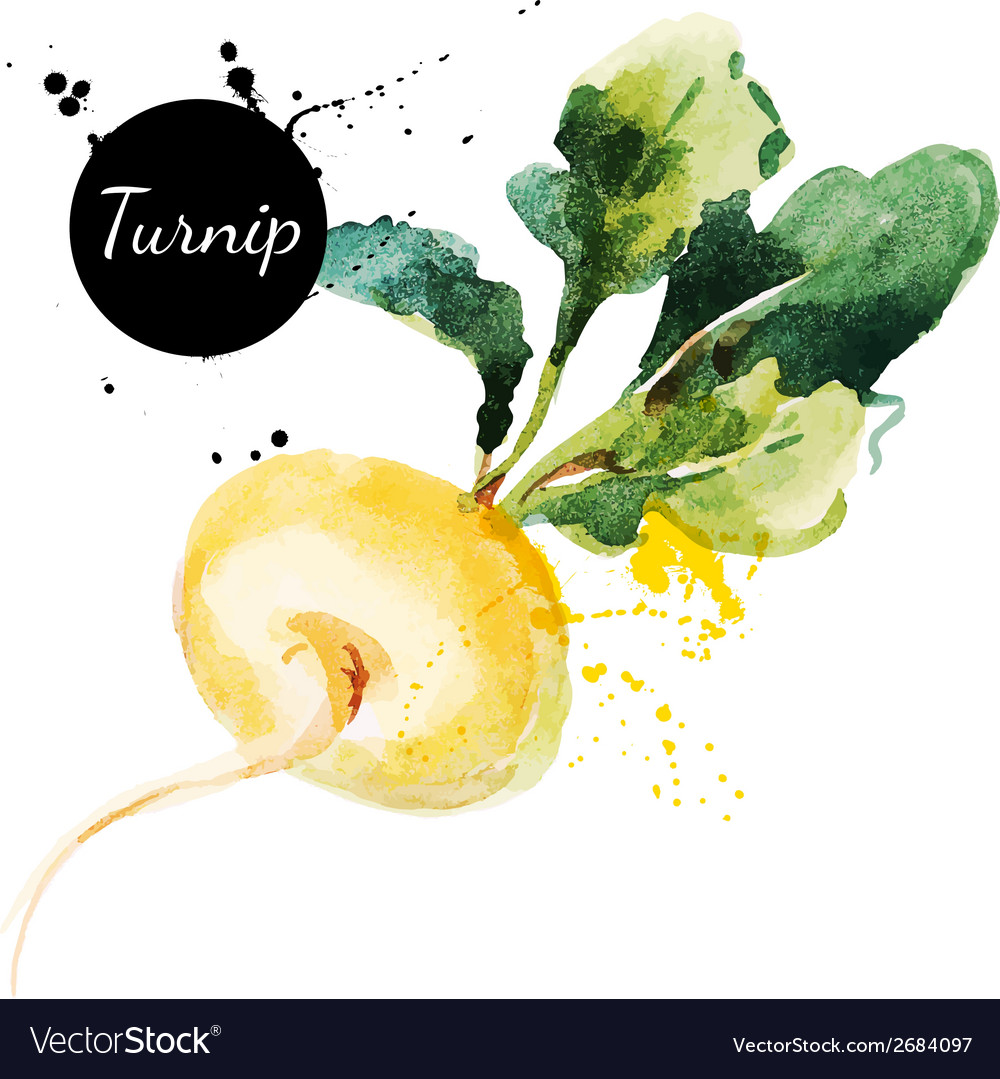 Turnip hand drawn watercolor painting on white vector | Price: 1 Credit (USD $1)
