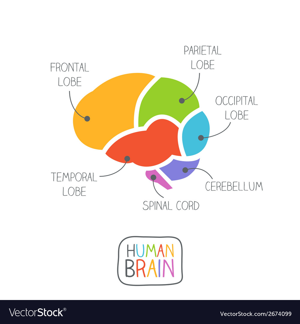 Human brain section vector | Price: 1 Credit (USD $1)